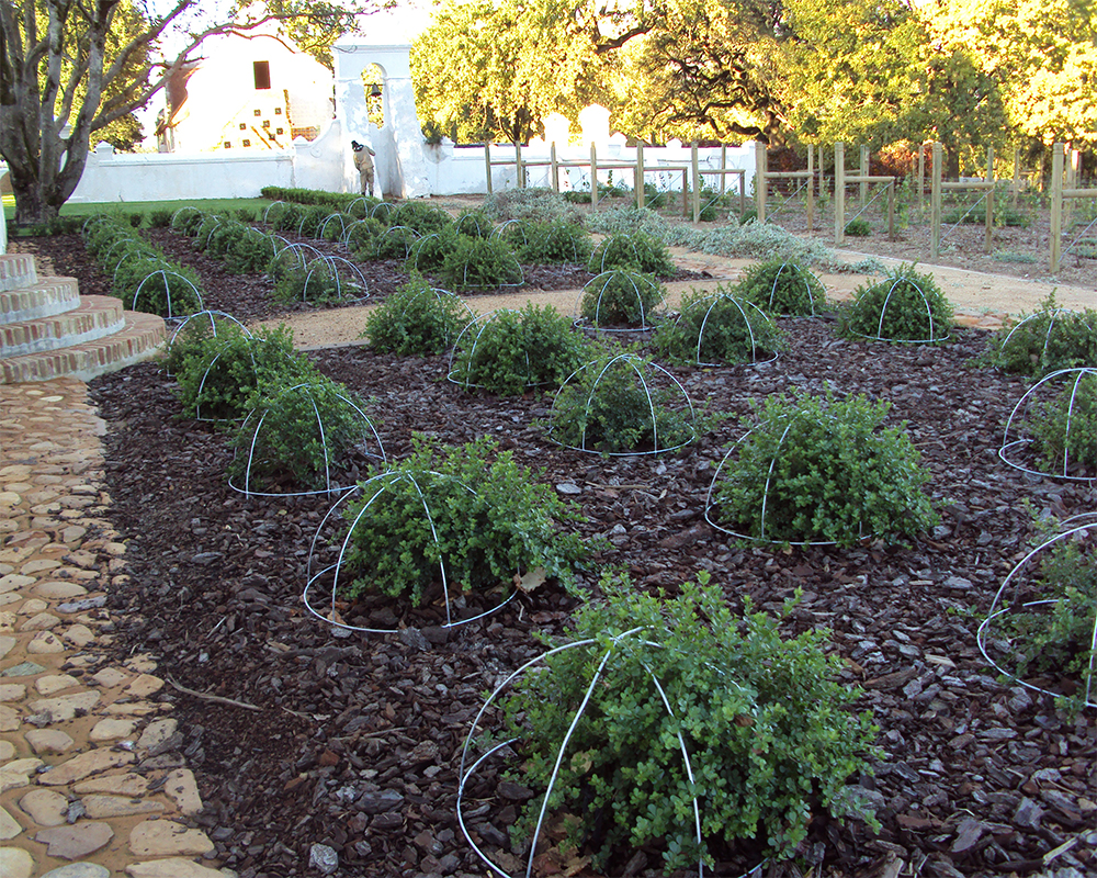 Hambisela_Horticultural_Service_Planting-of-Blackberries-into-terracotta-pots-and-sunk-into-the-ground
