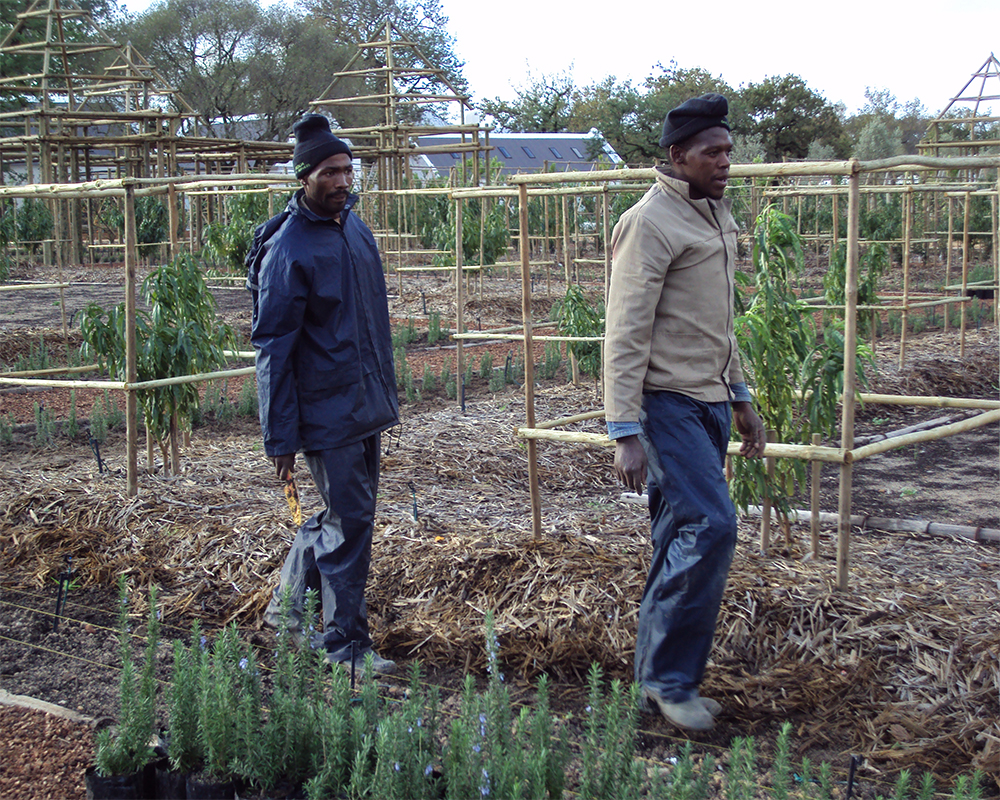 Hambisela_Horticultural_Service_Carlos-and-Victor-continue-planting-Rosemary-Tuscan-Blue-Hedges