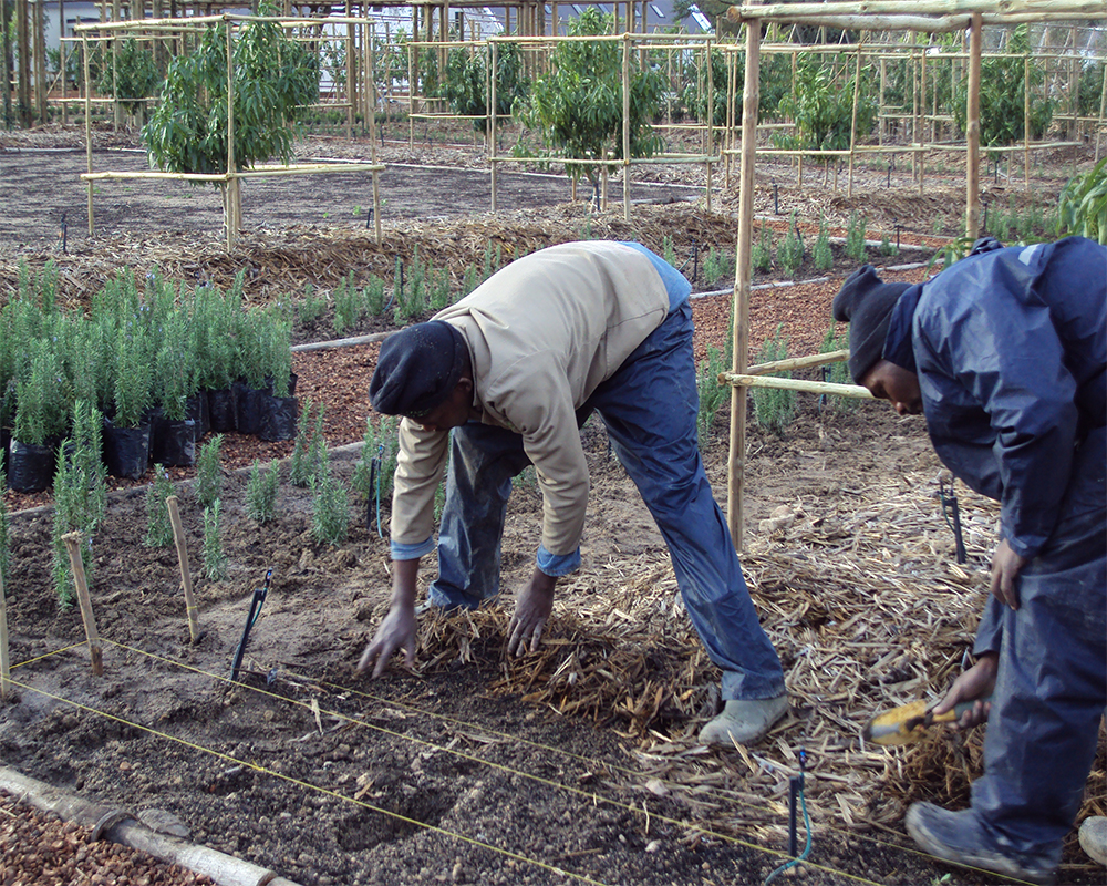 Hambisela_Horticultural_Service_Carlos-planting-a-hedge-of-Rosemary-Tuscan-Blue