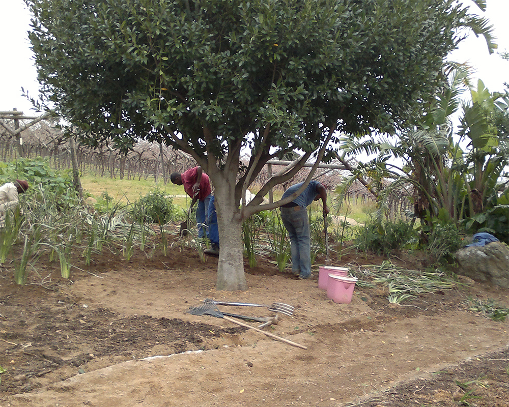 Hambisela_Horticultural_Service_House-Pauw---Paarl---Design-and-planting-of-garden-with-Dietes-grandiflora---Wild-Iris