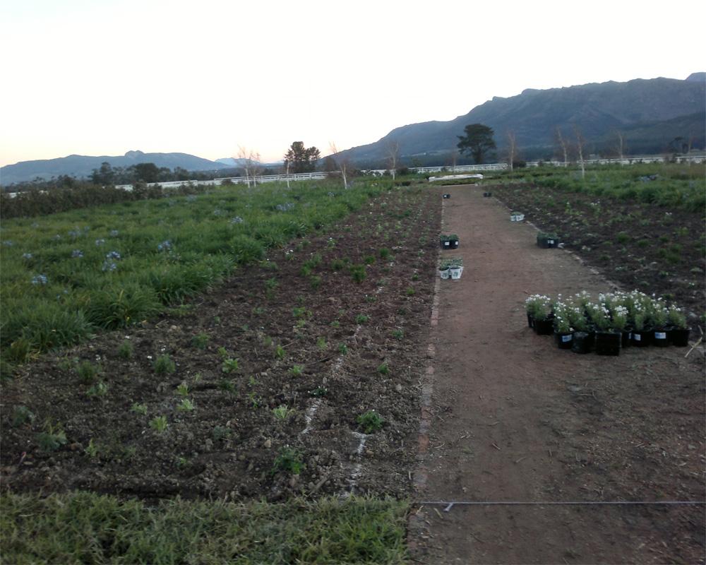 Hambisela_Horticultural_Service_L'Ormarins---Horse-Memorial-Garden---Design-and-landscape-a-Blue-and-White-Garden---work-in-progress