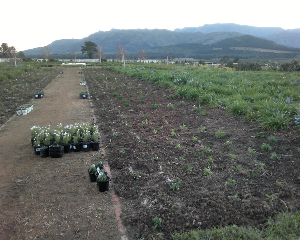 Hambisela_Horticultural_Service_L'Ormarins---Horse-Memorial-Garden---Design-and-landscape-a-Blue-and-White-Garden