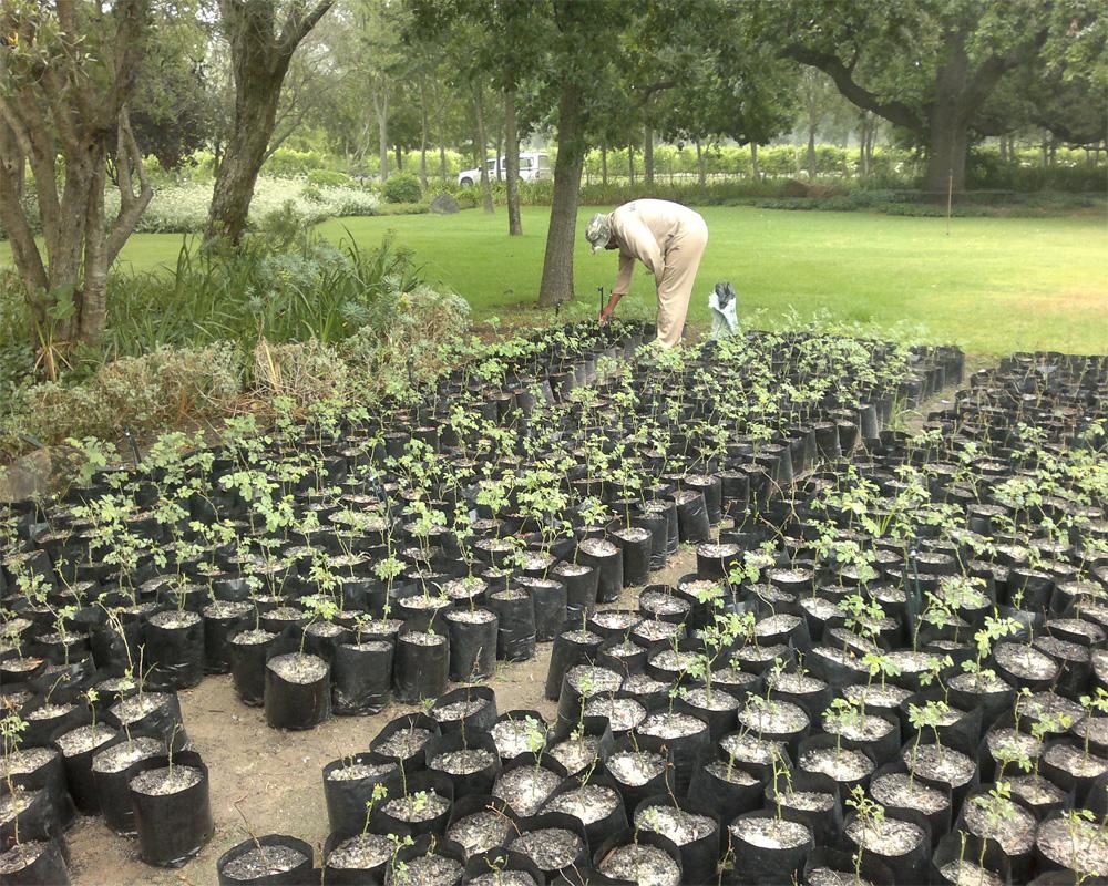 Hambisela_Horticultural_Service_Leigh-Ord---Waterford-Estate---Rosa-damscena---Damask-Rose---Bulgarian-Rose-Project_02