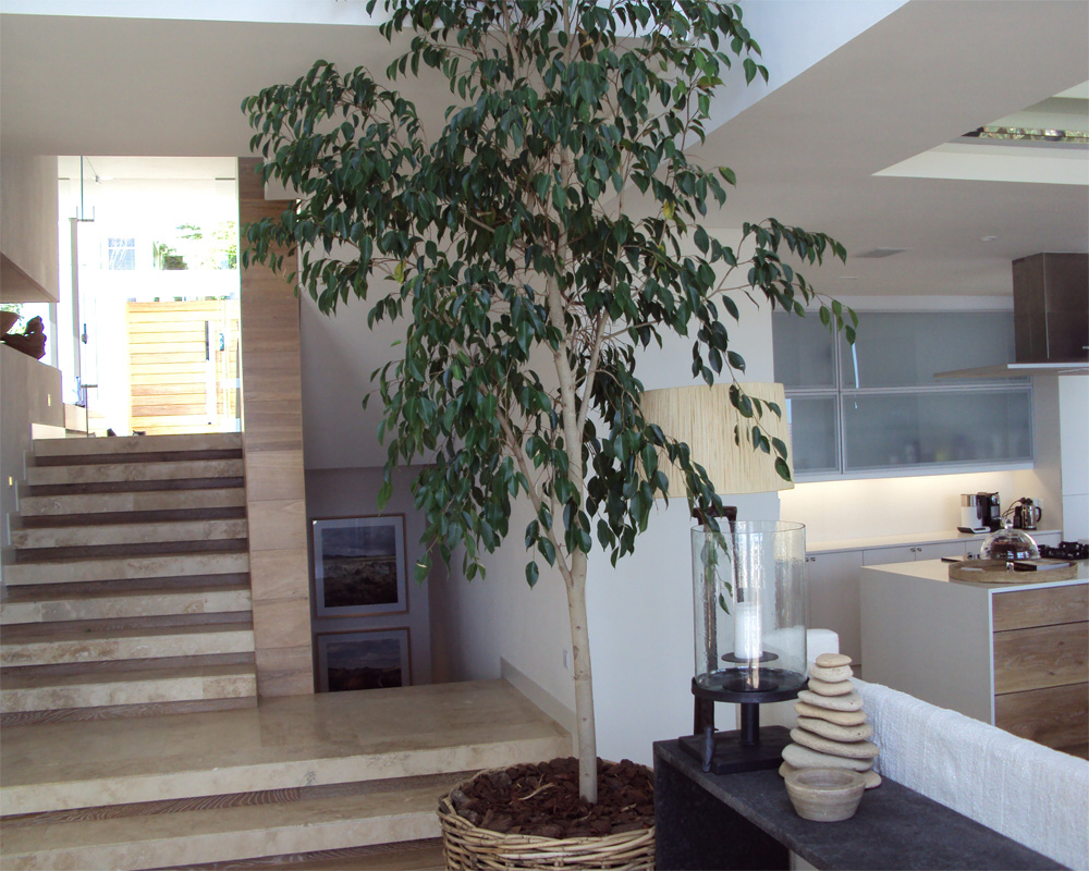 Hambisela_Horticultural_Service_Project---Leigh-Ord---Bantry-Bay---Design-and-installation-of-Indoor-Ficus-benjamina---Weeping-Fig