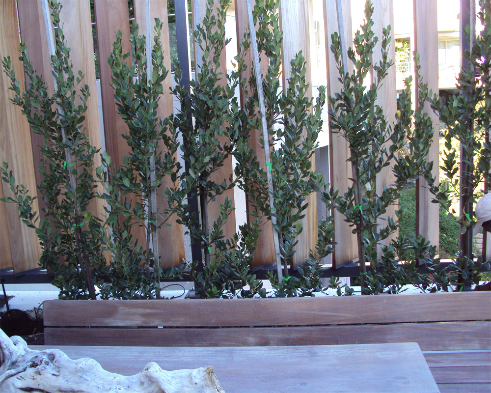 Hambisela_Horticultural_Service_Project-Leigh-Ord--Bantry-Bay---Design-and-planting-of-Flowerboxes-with-living-screen-of-Laurus-nobilis---Bay-Leaf