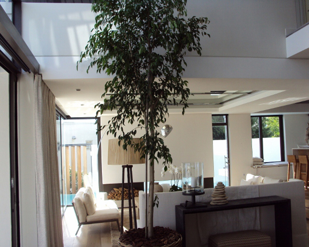 Hambisela_Horticultural_Service_Project-Leigh-Ord---Planting-of-3.5m-Ficus-benjamina's---Weeping-Figs---Indoor-planting